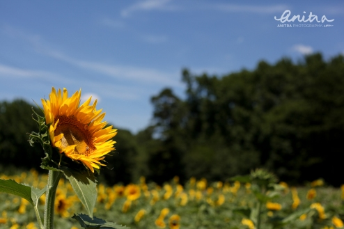 sunflowers-rockhill-July2014-LOGO-1677-1500x1000